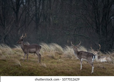 Two fallow bucks standing on the grass