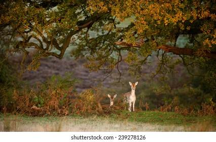 two fallow deer does under an oak tree