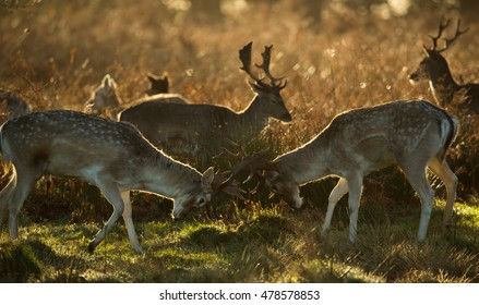 Two fallow deer stags fight during Richmond Park's rutting season during the autumn in London.