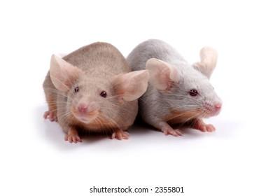 two fancy mice in love