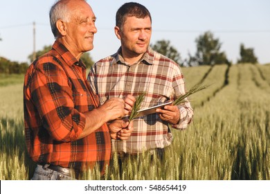 Two farmer standing in a wheat field and looking at tablet, They are examining corp at sunset.