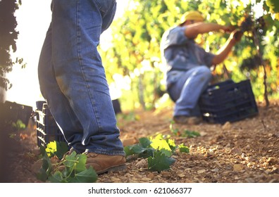 Two farmers harvesting grapes