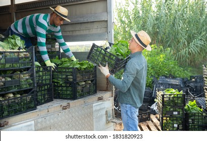 Two farmers load boxes of chard into a truck