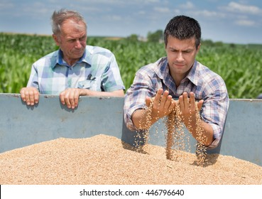 Two farmers looking at wheat grain in trailer after harvest
