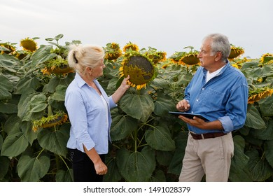 Two farmers using digital tablet computer in field. Smart farming. Farmer couple standing in a sunflower field, looking at the crop