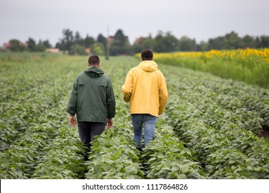Two farmers walking in soybean field in early summer with sunflowers beside