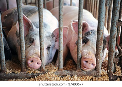 Two fat pigs laying with their snouts between the bars of their pen during a county fair.  Shallow DOF with focus on right pig's eye.