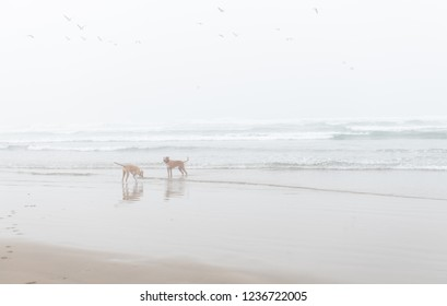 Two Fawn Colored Dogs Enjoy Off-Leash Time on Sandy Beach