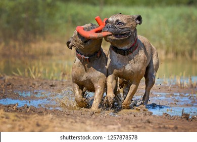 Two fawn French Bulldog dogs playing fetch with a toy together in the mud, all covered in dirt