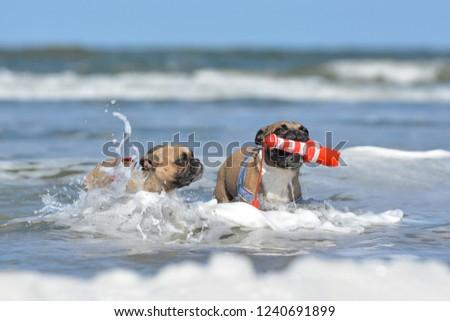 two-fawn-french-bulldog-on-450w-12406918