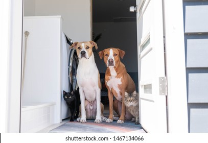 Two Fawn and Tan Short Haired Mixed Breed Dogs Sitting by Door with Cats Next to Them