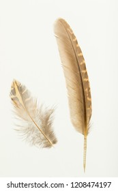 Two feathers of  European quail,  coturnix coturnix on white