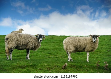 Two female adult sheep, a Swaledale Ewe, looking back over its shoulder. This is a horned hardy breed native to the Yorkshire Dales, UK. a hill sheep