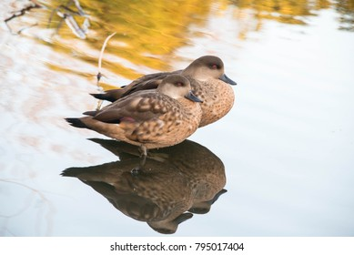 Two female chestnut teal ducks in shallow water in a zoo in England, UK