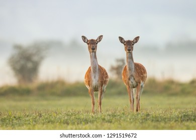 Two female fallow deer, dama dama, in autumn colors in first sunrays. Detailed image of two wild animals with blurred background. Wildlife scenery with cute mammals watching.