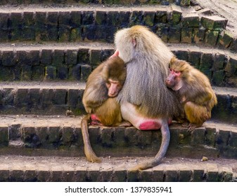 two female hamadryas baboons cuddling with a male hamadryas baboon, tropical monkeys from Africa