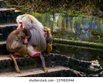 two female hamadryas baboons sitting close to a male hamadryas baboon, tropical monkeys from Africa