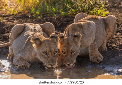 Lions Drinking Images, Stock Photos & Vectors | Shutterstock