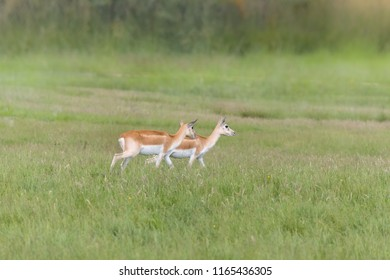 Two female Nile Lechwe antelope or onotragus megaceros as found in Sudan and Ethiopia