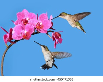 Two female Ruby- throated hummingbirds (Archilochus colubris) at pink orchids with blue sky in the background.