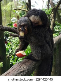 Two female saki monkeys (Pithecia pithecia are feeding on slices of apples. These monkeys play a necessary role in forest regeneration as they dispersed the seeds after they consumed the fruits.