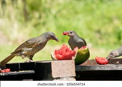 Two female satin bowerbirds by a feeder