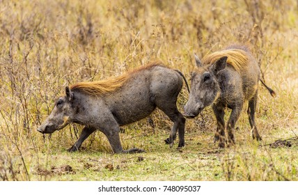 Two female Warthogs, with broad snouts, are roaming the savannah.They have dark gray colored skin with sparse, short hair. Longer bristles, which form a mane, help to protect their skin from sunburn.