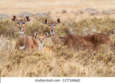 Two female and a young Mountain Nyala in the Bale Mountains in Ethiopia