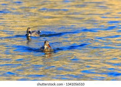 Two females Mallards swim in the water