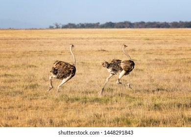 Two females ostriches running through the open plains of Amboseli National Park, Kenya.