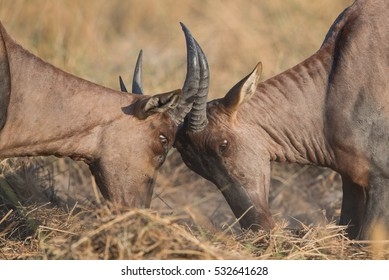 Two fighting hartebeest males in Moremi National Park, Khwai area.
