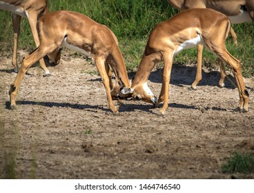 Two fighting Impalas in the savannah grass of the Bwabwata Nationalpark at Namibia during summer