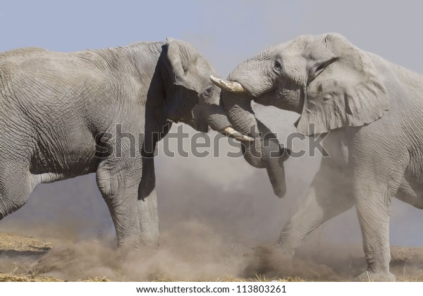 two fighting male elephants in an african desert