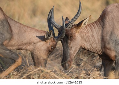Two fighting male hartebeest in Moremi National Park, Khwai area.