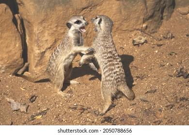 two fighting Meerkats,hug, Suricata suricatta,african small carnivores watching surroundings