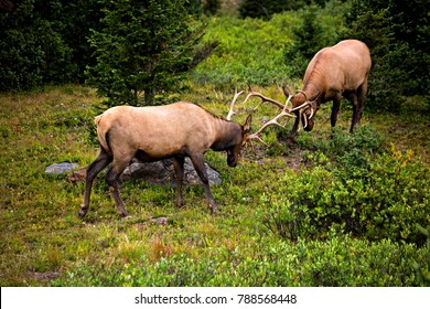Two fighting young elks, in Rocky Mountain National Park.