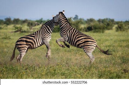 Two fighting Zebras in the grassland, jumping, Kruger National Park, South Africa