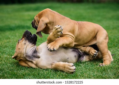 Two Fila Brasileiro (Brazilian Mastiff) puppies playing on the grass
