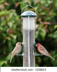 Two finches feeding from bird feeder in backyard
