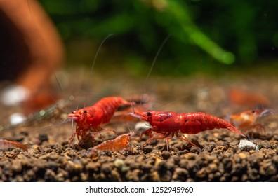 Imágenes, fotos de stock y vectores sobre Red Cherry Shrimp