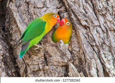 Two Fischer's Lovebirds (Agapornis fischeri) nuzzle each other, Ngorongoro Conservation Area, Tanzania