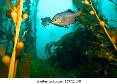 two fish kissing in the middle of a Kelp forest