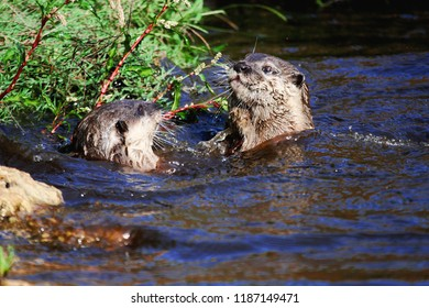 Two fish otters are swimming in the water