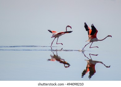 Two Flamingos starting to run with beauty reflections on water in Andalusia, Spain