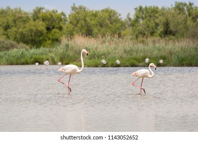 Two flamingos wading the water in the ornithological park of Camargue, Provence, France
