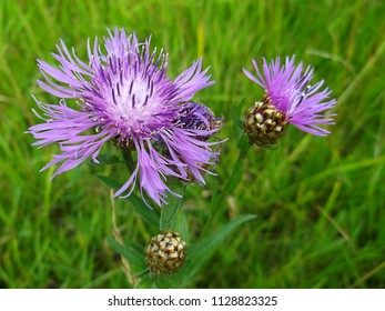 Two flower cornflower purple. The view from the top. Meadow flowers. Horticulture and floriculture.