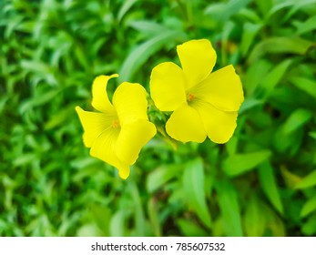 Two flowers of Bermuda buttercup, agrillo or chuchamel, Oxalis pes-caprae, growing on sand dunes