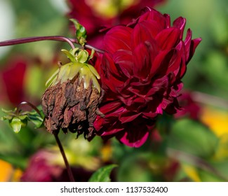 Two flowers of dahlia, blooming and withered