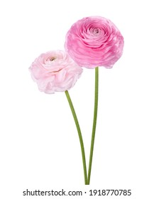 Two flowers of Ranunculus isolated on white background. Persian Buttercup