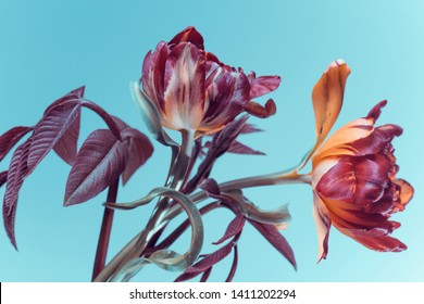 two flowers with red buds on a blue background, tulips in the studio.